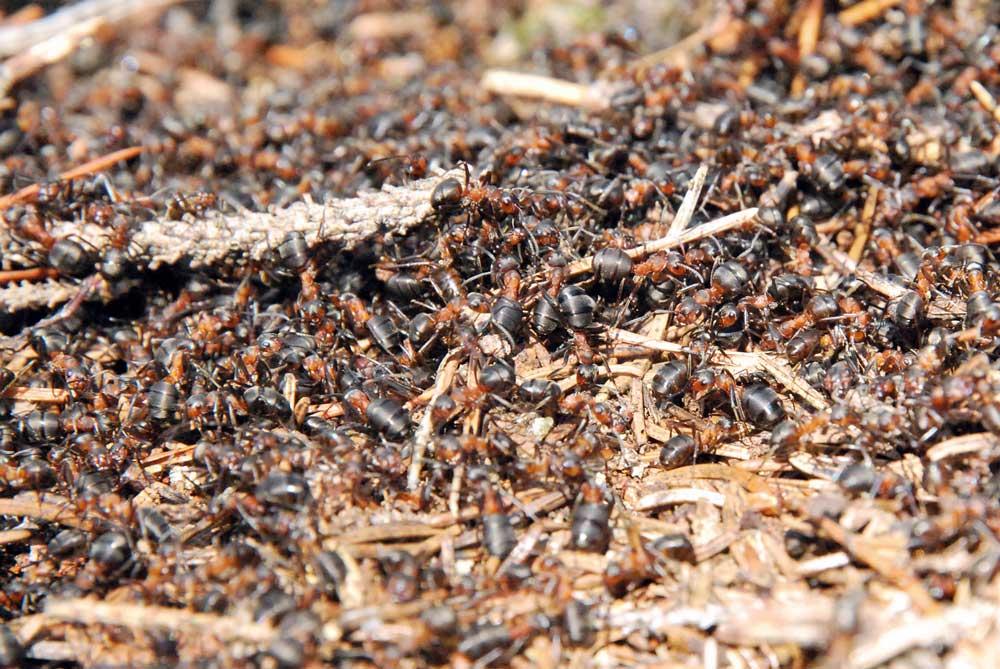 Formica Rufa, la formica rossa alla base dell'aroma dell'Anty Gin