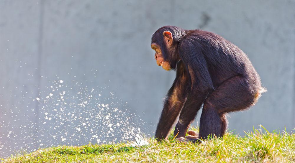 Giner ed Evoluzionismo le scimmie assumono regolarmente etanolo