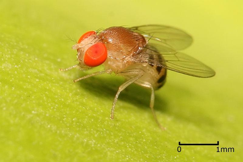 La Drosophila, il moscerino della frutta sul quale si è basato lo studio