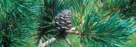 Botanica: Pino Cembro (Cirmolo)