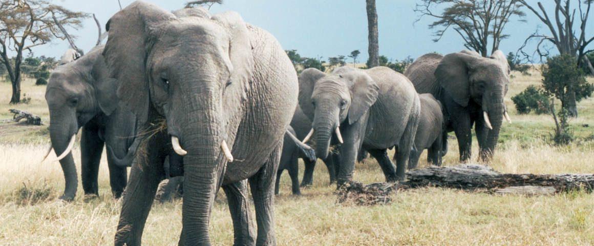 I gin del Gin Day: Salviamo gli Elefanti con Elephant Gin